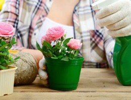 Пересадка и уход за горшечными розами в домашних условиях