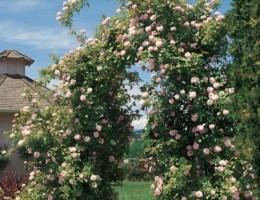 Уход и выращивание плетистых роз в открытом грунте