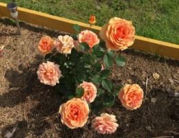 Как правильно ухаживать за розами осенью и весной