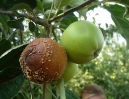 Что делать если яблоки гниют и падают прямо на дереве