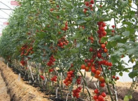 Посадка и уход за индетерминантными томатами в теплице