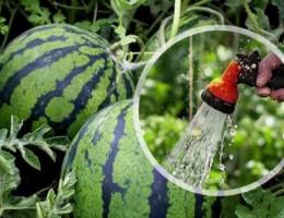 Правила полива арбузов для хорошего урожая