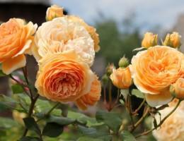 Английские розы Дэвида Остина: сорта и особенности выращивания