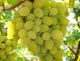 Виноград Плевен или Августин – посадка и уход за сортом в открытом грунте