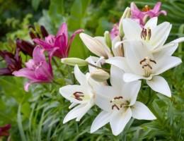 Лучшие разновидности садовых лилий: розовые, красные, желтые