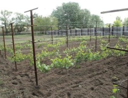 Особенности посадки и ухода за виноградом в Сибири для начинающих