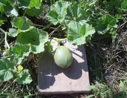 Особенности выращивания арбуза в теплице и открытом грунте в Подмоскоье