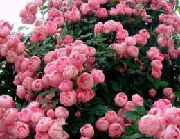 Пионовидная роза: посадка и уход в открытом грунте
