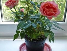 Роза Кордана: выращивание в домашних условиях и открытом грунте