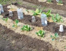 Можно ли сажать кабачки в июле и что можно посадить после