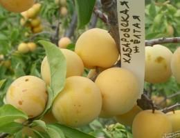 Сорта желтой крупноплодной сливы: рекомендации по посадке и выращиванию