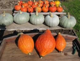 Как узнать спелость тыквы – рассчитываем сроки сбора урожая