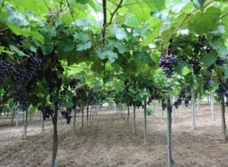 Как правильно сажать виноград: сроки и схемы посадки саженцев