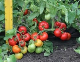 Помидоры Дебют f1: характеристика и урожайность сорта