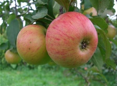 Описание и особенности выращивания яблони Медуница