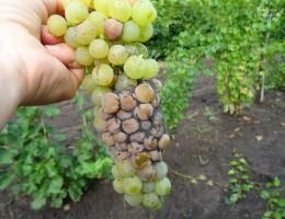 Болезни и вредители винограда, методы борьбы с ними