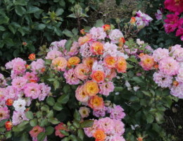 Выращивание и уход за кустовыми розами в открытом грунте