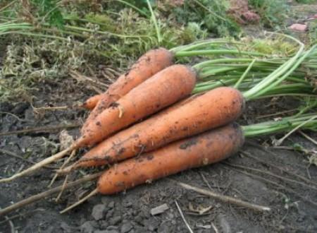 Как правильно выращивать и ухаживать за морковью в открытом грунте