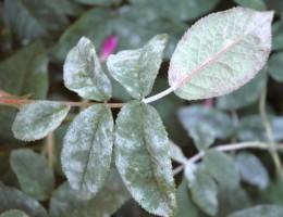 Обработка и лечение роз от мучнистой росы
