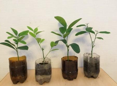 Особенности выращивания домашних лимонов