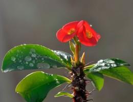 Цветок молочай комнатный: разновидности и уход в домашних условиях