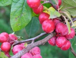 Разновидности яблони китайка и их характеристика: Золотая, Бельфлёр Долго и Керр