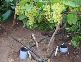 Сроки и правила полива винограда в открытом грунте
