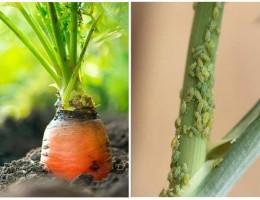 Как бороться с тлей на моркови народными средствами и химическими препаратами