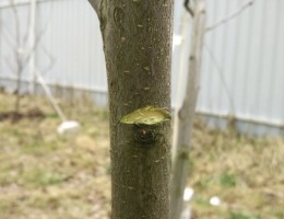 Обрезка фруктовых деревьев весной и летом: сроки и правила
