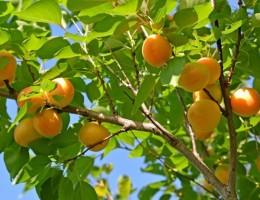 Абрикос выращивание и уход в открытом грунте