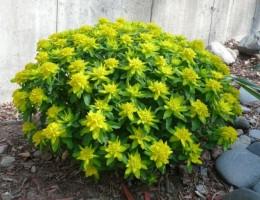 Молочай садовый многоцветковый: выращивание и уход в открытом грунте