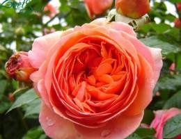 Сорт розы Чиппендейл: посадка и уход