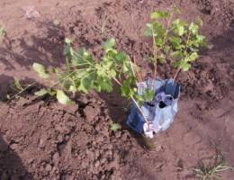 Особенности выращивания винограда в Подмосковье без теплицы