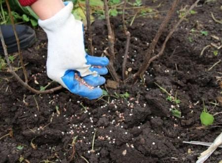 Чем можно подкормить черную смородину для лучшего урожая