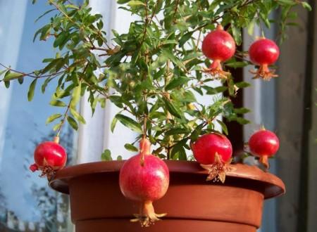 Выращивание и уход за гранатовым деревом в домашних условиях