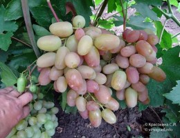 Виноград Преображение: сроки созревания и правила ухода за сортом