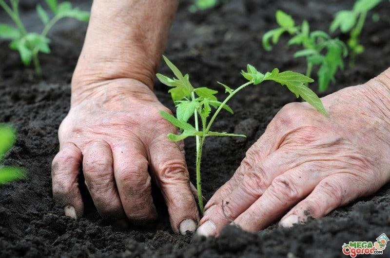 когда сажать картошку семенами на рассаду