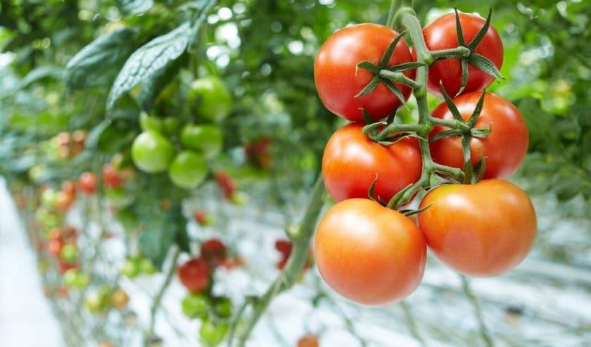 Лучшие детерминантные сорта томатов для теплиц