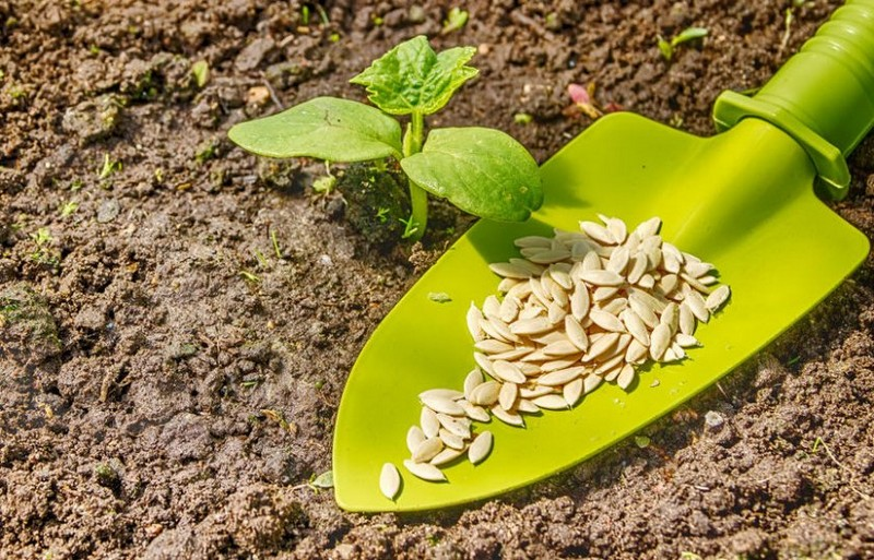 огурцы замачивание семян перед посадкой