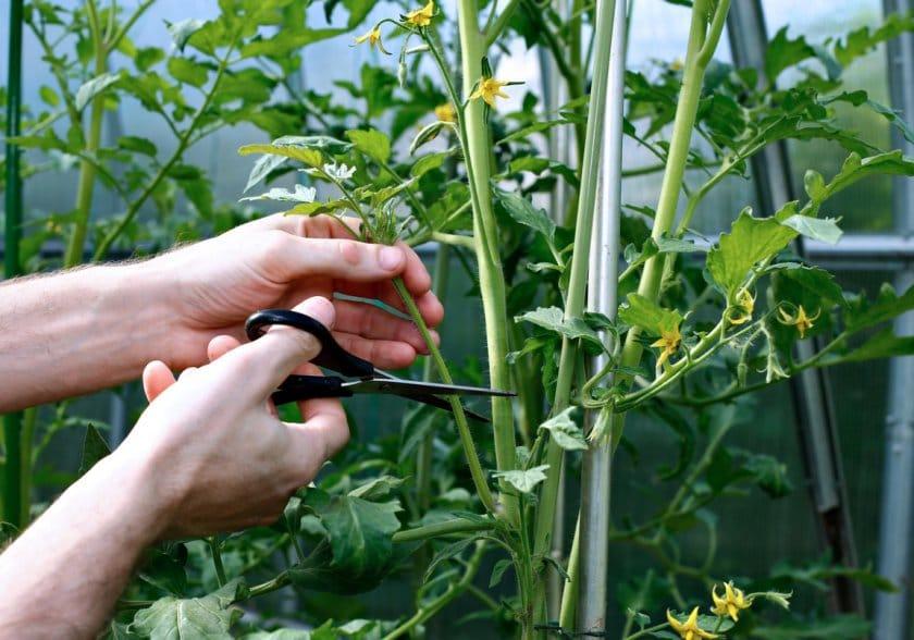 Как необходимо формировать помидоры в теплице и открытом грунте схемы и инструкции