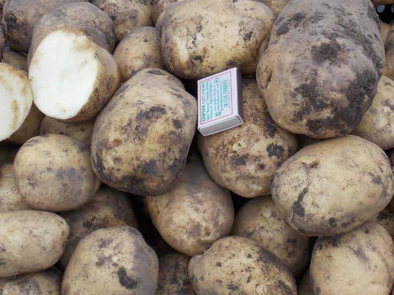 сделал картофель синеглазка описание сорта фото подстриглась