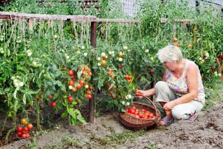 Низкорослые ранние помидоры лучшие сорта