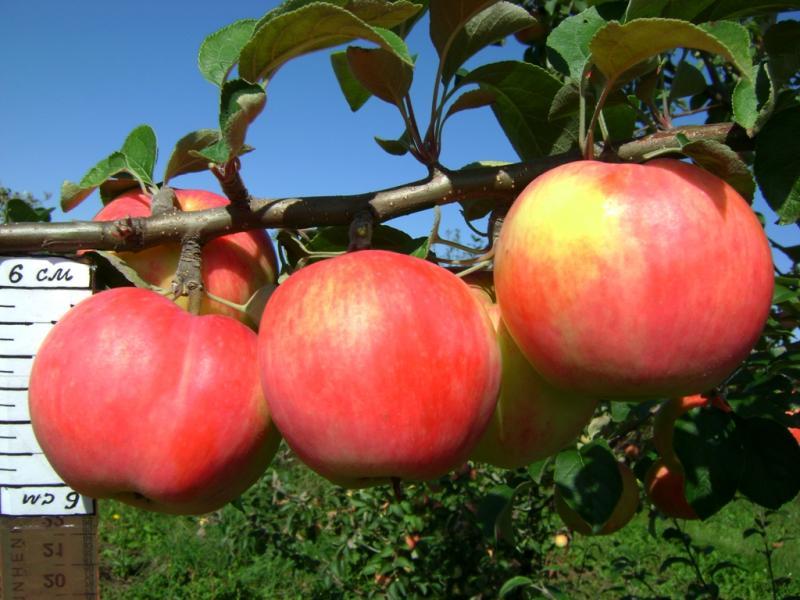 Профилактика парши на яблонях